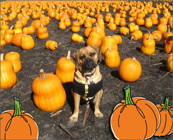 pugglePreston_pumpkin1