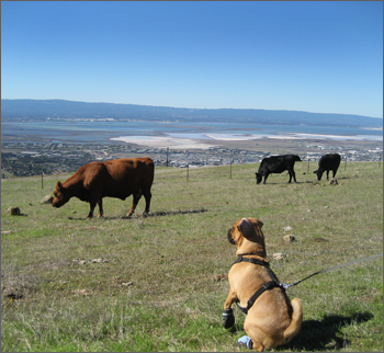 mission peak hiking cows
