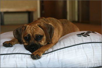 westin heavenly dog bed