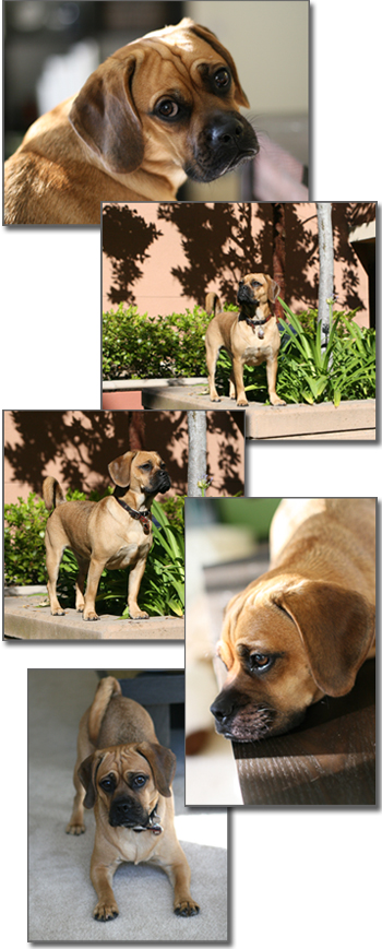 puggle preston comp pics