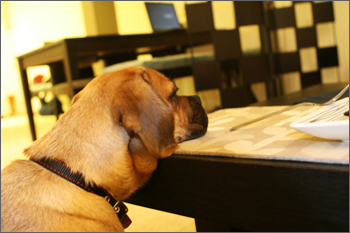 puggle preston resting his head on table