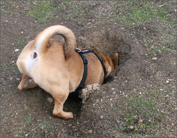 puggle preston digging squirrel burrow